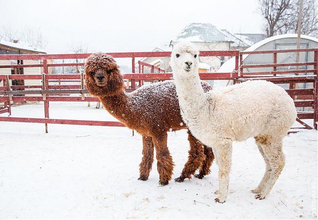 Экскурсия на ферму Российские Альпаки «В гости к плюшевым верблюдам» |  Экскурсии для школьников | Мос-Тур